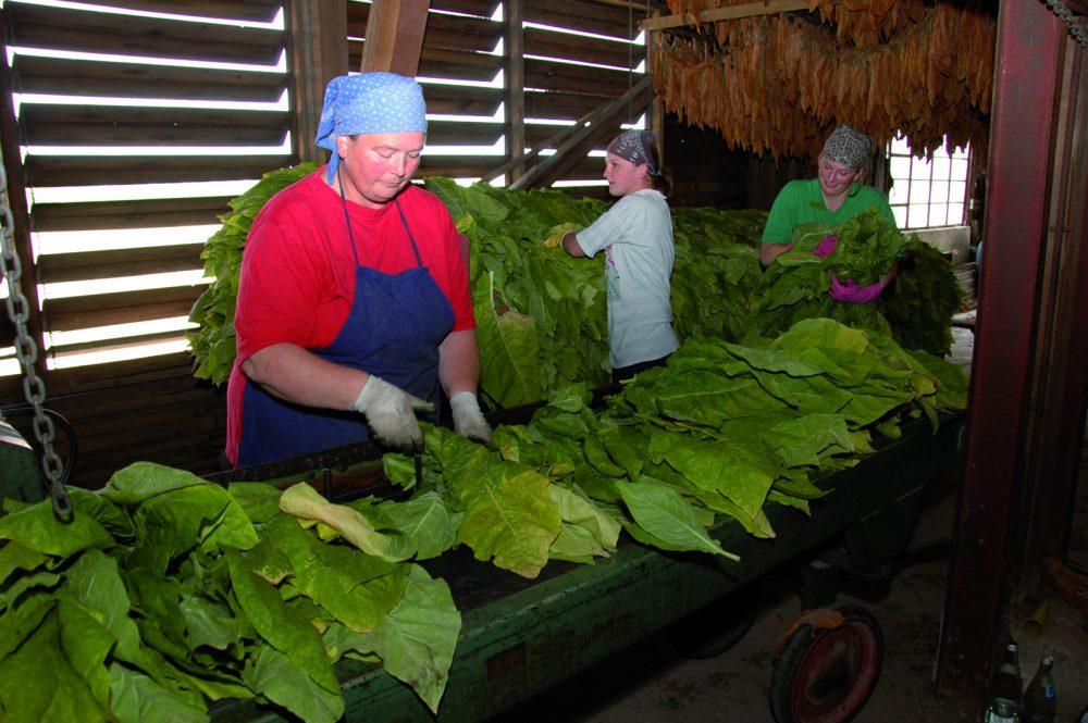 Frauen bei der Tabakernte in Lorsch