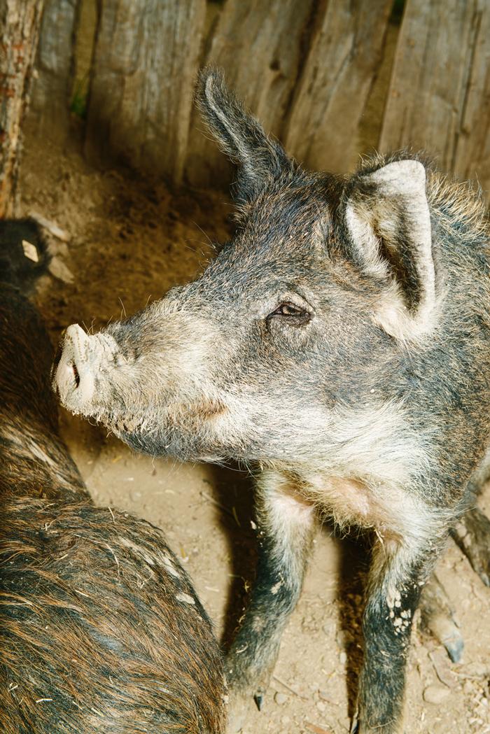 Das Düppeler Landschwein – eine heute selten gewordene Nutztierrasse, die in Lauresham heute nachgezüchtet wird.