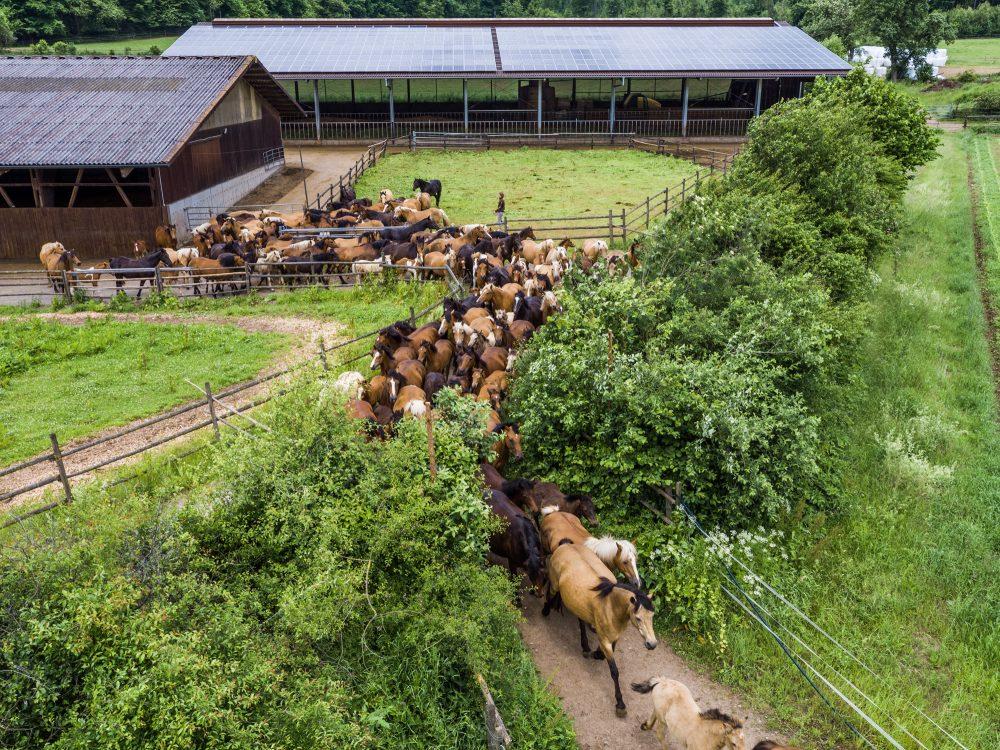 Pferde strömen aus Gehege auf eine Koppel