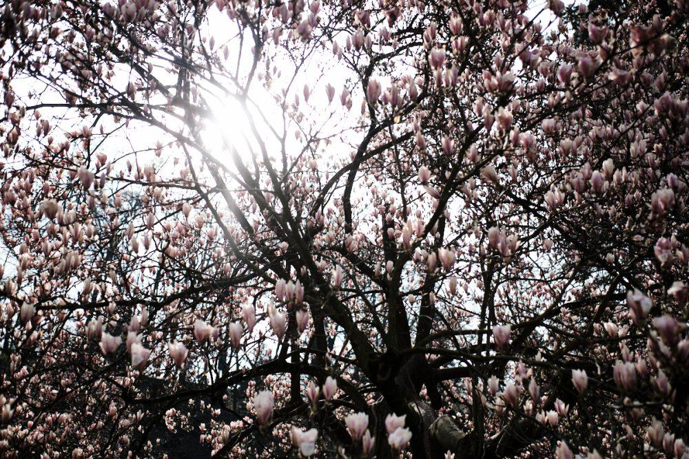 Baum mit Blühten